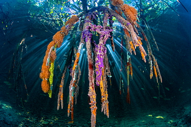Sunbeam on through the roots of red mangrove trees (Rhizophora sp.), encrusted with marine life (sponges and seasquirts). Jardines de la Reina, Gardens of the Queen National Park, Cuba. Caribbean Sea.