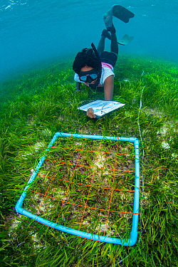 Marine biologist surveying a meadow of seagrass (Cymodocea rotundata) around a Maldive Island. Seagrass is an important habitat, yet Maldives resorts were previously encouraged to pluck seagrass to im...