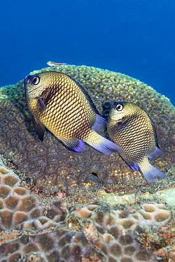 Pair of Reticulated dascyllus (Dascyllus retriculatus) spawning eggs on a coral reef. Dauin, Dauin Marine Protected Area, Dumaguete, Negros, Philippines. Bohol Sea, tropical west Pacific Ocean.