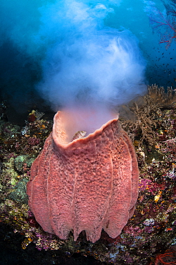 Giant barrel sponge (Xestospongia testudinaria) releases a large cloud of gametes as it spawns on a coral reef, while a Threadfin hawkfish (Cirrhitichthys aprinus) looks on. Daram Islands, Misool, Raj...