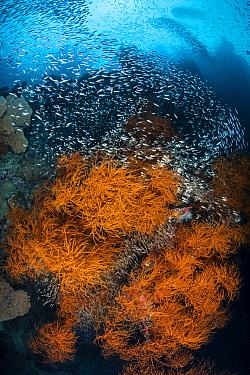 Orange bushy black corals (Antipathes sp) are surrounded by glassfish (Apogonidae) and schooling silversides (Atherinidae). Daram Islands, Misool, Raja Ampat, West Papua, Indonesia. Ceram Sea. Tropica...