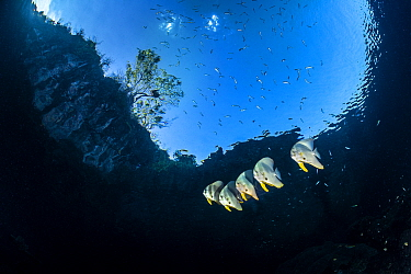 Group of Longfin batfish (Platax teira) beneath the surface, close to an island. Farondi Islands, Misool, Raja Ampat, West Papua, Indonesia. Tropical West Pacific Ocean.