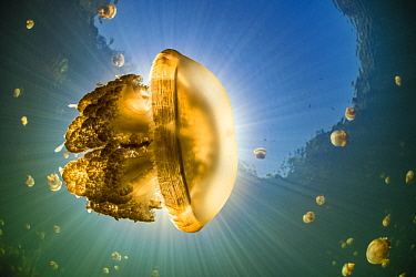 Stingless golden jellyfish (Mastigias sp.), backlit by the sun, in a landlocked marine lake in the middle of an island. Their golden colour comes from endosymbiotic algae, which provide nutrition for...