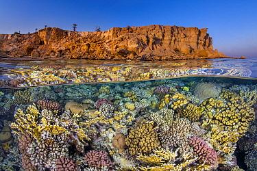 Diverse hard coral growth (Pocillopora damicornis, Pocillopora verrucosa and Millepora dichotoma), flourishes beneath the barren desert cliffs in the Red Sea. Ras Katy, Sinai, Egypt. Gulf of Aqaba, Re...