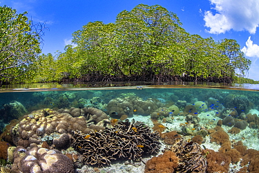 Split level photo of mangrove scenery, with hard corals ( including Goniopora sp.; Heliopora sp; Porites sp.) growing below Red mangrove tree: (Rhizophora mangle). Nampale Islands, Misool, Raja Ampat,...