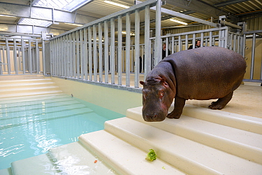 Hippopotamus (Hippopotamus amphibius) walking down steps to an indoor pool after its arrival at the zoo, observed by zookeepers, before it enters the new hippo enclosure, Beauval Zoo, Saint-Aignan, Fr...