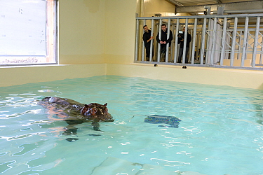 Hippopotamus (Hippopotamus amphibius) swimming in an indoor pool after its arrival at the zoo, observed by zookeepers, before it enters the new hippo enclosure, Beauval Zoo, Saint-Aignan, France.