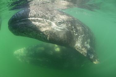 Gray whale (Eschrichtius robustus) calf, San Ignacio Lagoon, El Vizcaino Biosphere Reserve, Baja California Sur, Mexico