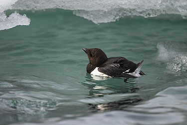 Little auk (Alle alle) in water with ice around, Franz Jozef Land, Arctic Russia. July