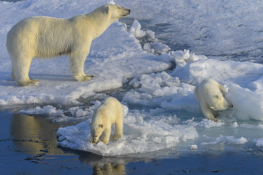 Polar bear (Ursus maritimus) female with cubs on ice, Franz Jozef Land, Arctic Russia. July.