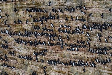 Brunnich's guillemot (Uria lomvia) nest colony on cliffs, Franz Jozef Land, Arctic Russia. July.
