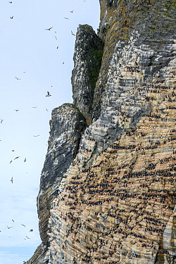 Seabird colony on cliffs, Franz Jozef Land, Arctic Russia. July 2019