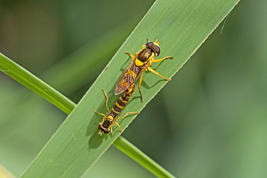 Hoverfly (Sphaerophoria scripta) pair mating. Sutcliffe Park Nature Reserve, Eltham, London, England, UK. July.