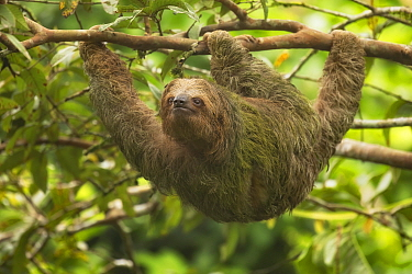 Brown-throated three-toed sloth (Bradypus variegatus) hanging from tree branch. Costa Rica.