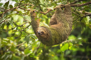 Brown-throated three-toed sloth (Bradypus variegatus) hanging from branch. Costa Rica.