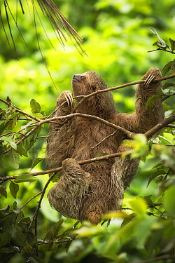 Brown-throated three-toed sloth (Bradypus variegatus) in rainforest. Costa Rica.