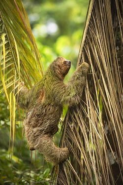 Brown-throated three-toed sloth (Bradypus variegatus) climbing. Costa Rica.