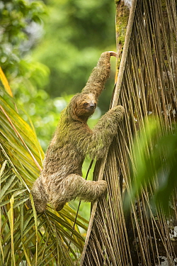 Brown-throated three-toed sloth (Bradypus variegatus) climbing up leaf. Costa Rica.