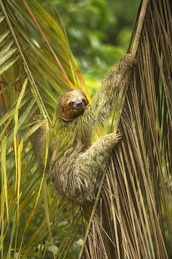 Brown-throated three-toed sloth (Bradypus variegatus). Costa Rica.
