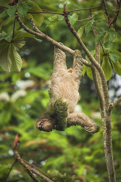 Brown-throated three-toed sloth (Bradypus variegatus) hanging from branch, scratching chin. Costa Rica.