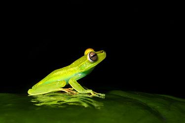 Red-webbed treefrog (Boana rufitela) reflected on leaf at night. Costa Rica.