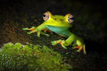 Red-webbed treefrog (Boana rufitela). Costa Rica.