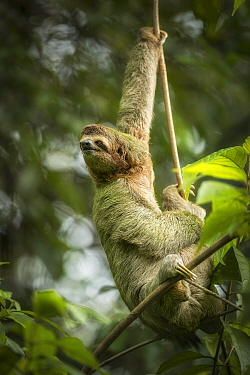 Brown-throated three-toed sloth (Bradypus variegatus). Manuel Antonio National Park, Costa Rica.