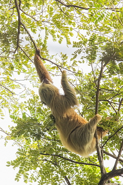 Hoffmann's two-toed sloth (Choloepus hoffmanni) climbing in trees. Manuel Antonio National Park, Costa Rica.
