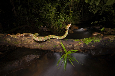 Eyelash pit viper (Bothriechis schlegelii) crossing over river in cloud forest. Arenal, Costa Rica.