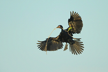 Reed cormorant (Microcarbo africanus) in flight, nesting material in beak. Chobe River, Botswana.