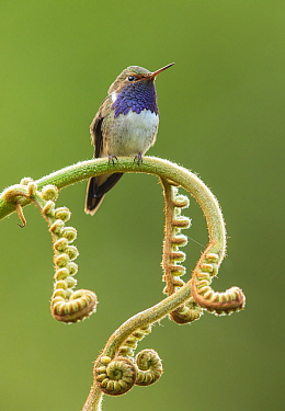 Volcano hummingbird (Selasphorus flammula) male perched on Fern frond. Talamanca Mountains, Costa Rica.