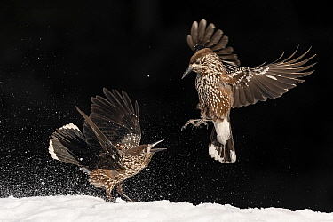 Nutcracker (Nucifraga caryocatactes), two fighting in snow. Vitosha Mountain, Sofia, Bulgaria. January.