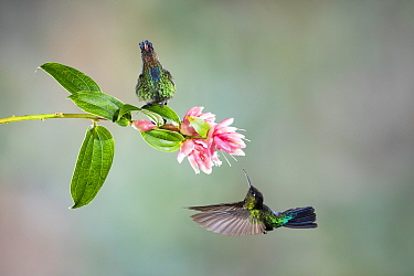 Fiery-throated hummingbird (Panterpe insignis), two, with one nectaring on flower. Costa Rica.