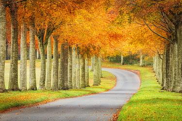 Road through avenue of Beech trees(Fagus sylvatica) in autumn. Moor Crichel, Dorset, UK November 2019. Focus stacked image.