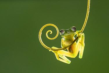 Emerald glass frog (Espadarana prosoblepon). Arenal, Costa Rica.