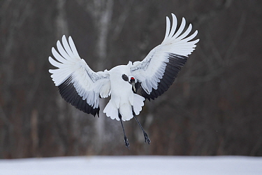 Red-crowned crane (Grus japonensis) in flight over snow. Hokkaido, Japan. February.