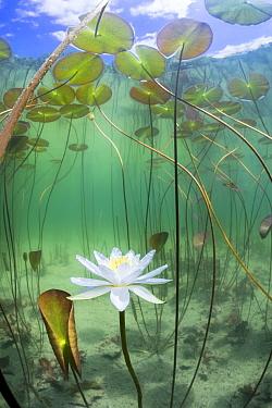 Water lily (Nymphaea alba) flower underwater in lake, Ain, Alps, France, June.