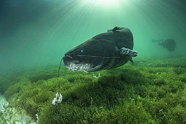 Giant wels catfish (Silurus glanis), longer than two meters, swimming above the bottom of the lake of Neuchatel, Switzerland.