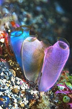 Blue club tunicate (Rhopalaea crassa). Lembeh Strait, North Sulawesi, Indonesia.