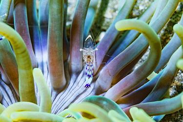 Beautiful shrimp (Ancylomenes speciosus). Lembeh Strait, North Sulawesi, Indonesia.
