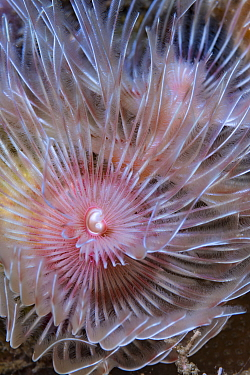 Magnificent tube worm (Protula bispiralis). Lembeh Strait, North Sulawesi, Indonesia.
