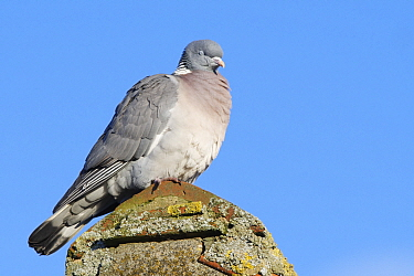 Wood pigeon (Columba palumbus) perched on a cottage roof with its eyes shut, Gloucestershire UK, February.