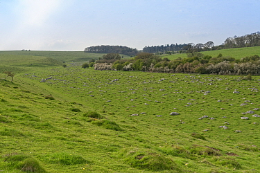 Sandstone sarsen stones, the 'Grey Wethers', exposed in a shallow valley in Fyfield Down National Nature Reserve, the Ridgeway, Marlborough Downs, Wiltshire, UK, April 2019.