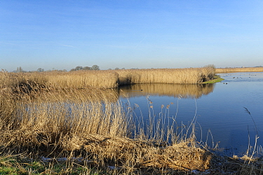 Reed beds (Phragmites australis) and open water pool with a mix of wildfowl at RSPB Otmoor, Oxfordshire, UK, January 2020.