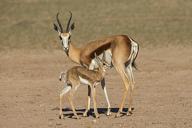 Springbok (Antidorcas marsupialis) and new-born calf, Kgalagadi Transfrontier Park, South Africa.