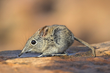 Eastern rock elephant shrew (Elephantulus myurus), Tuli game reserve, Botswana.