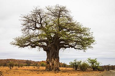 Baobab (Adansonia digitata) tree with elephant damage, Mapungubwe national park, Limpopo, South Africa.