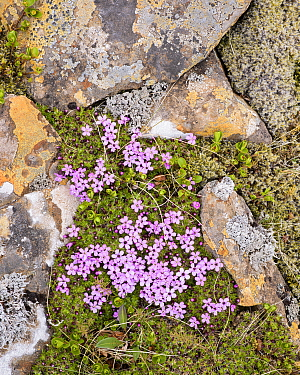 Moss campion, (Silen acaulis) in flower, Iceland