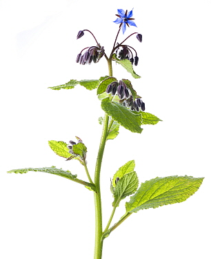 Borage (Borago officinalis) in flower with white background, Brechin, Scotland, UK, June.