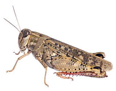 Italian locust (Calliptamus italicus) against white background, Burgundy, France, August.